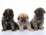 Когда делать прививки щенкам?