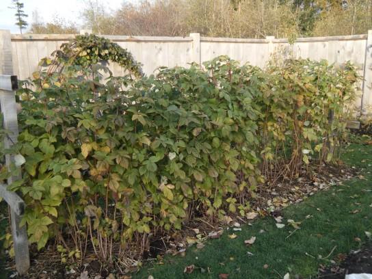 как высадить малину осенью