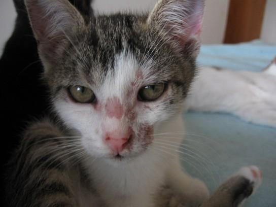 Лишай у кошек: симптомы,