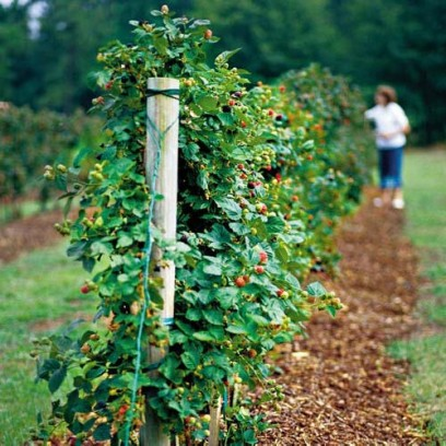 Ежевика выращивание на шпалере 3