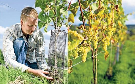 В какое время и как сажать виноград 30