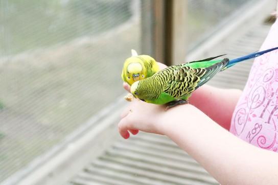 как научить разговаривать волнистого попугая когда-нибудь