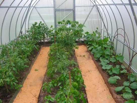 Выращивание огурцов в теплице зимой из поликарбоната 4