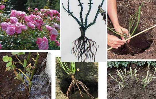 Выращивание карликовых роз в открытом грунте 89